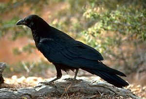 English: Raven (Corvus corax) in Utah, United (Image via Wikipedia)