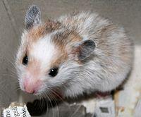 Seekor Hamster Emas
