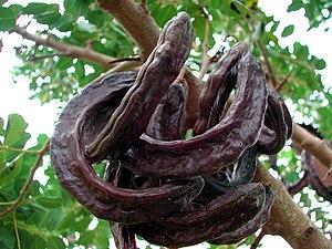 Carobs hanging of a carob tree(Ceratonia siliq...