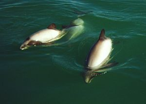 Hector's Dolphins at Porpoise Bay. This was sc...