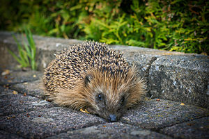 Today i saw this hedgehog. He was breathing ve...