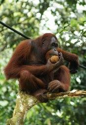 Orangután [Clic para ampliar la imagen]