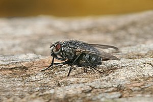 Description: Muscidae, some of which are commo...