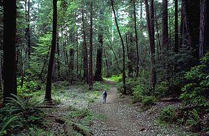 Hiker in redwood forest, inside Redwood Nation...