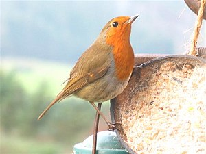 English: Robin Redbreast