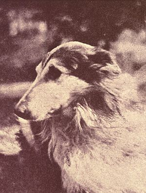 Photo of a Rough Collie, used as an illustrati...