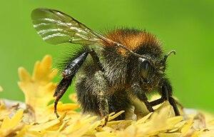 Description: Bumblebees (also spelled bumble b...