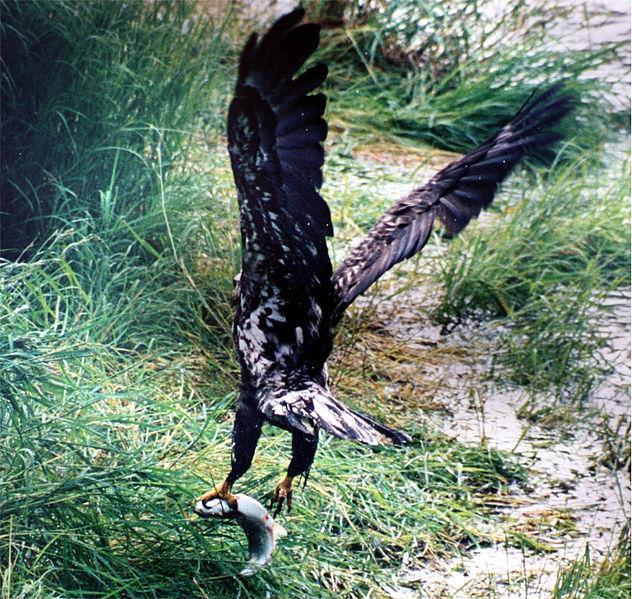 File:Bald Eagle and salmon.jpg