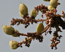 Boswellia serrata (Salai) in Kinnarsani WS, AP W2 IMG 5840.jpg