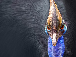 The head of a Southern Cassowary (Casuarius ca...