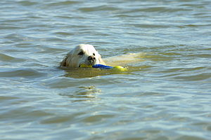 Golden Retriever swimming.