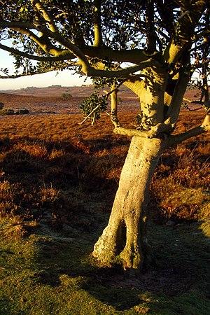 English: Holly tree, Stone Quarry Bottom, New ...