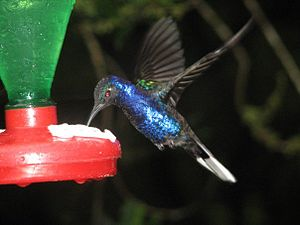 Humming bird at feeder in Costa Rica (it only ...
