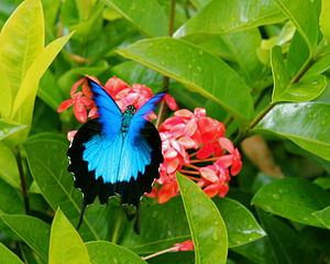 Ulysses butterfly (Papilio ulysses). This is t...