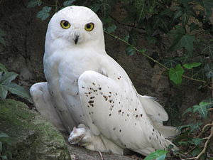Snowy owl (Bubo scandiacus), Berlin Zoo, Germany.