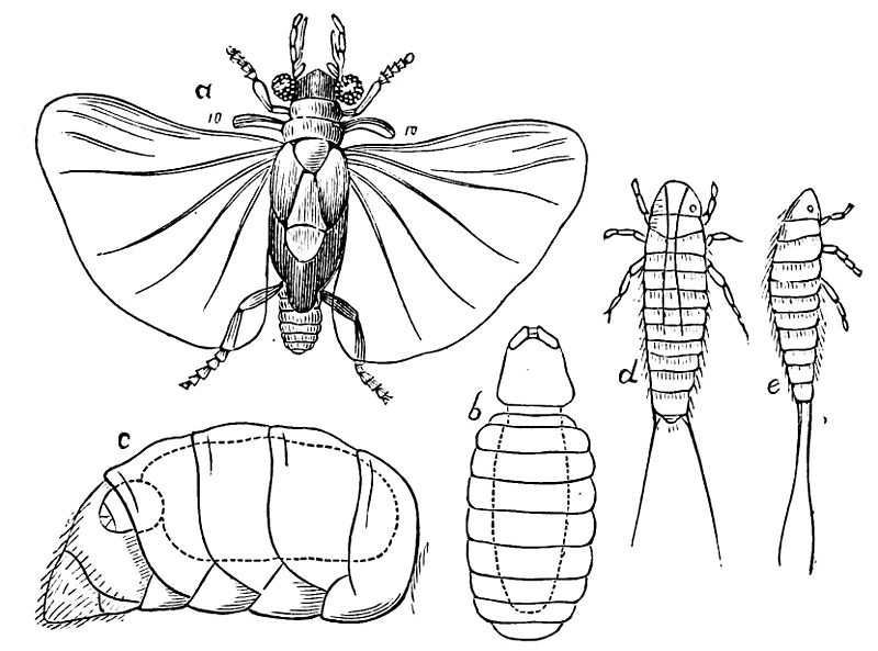 Strepsiptera life stages