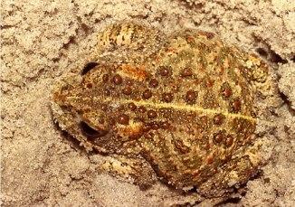 BufoCalamita Sand