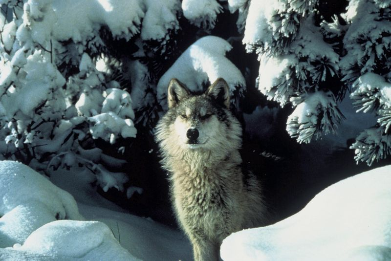 File:Canis lupus standing in snow.jpg