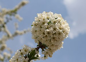 English: Cherry tree blossom Русский: Цветущая...