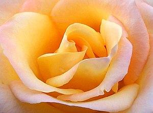 Close up yellow rose