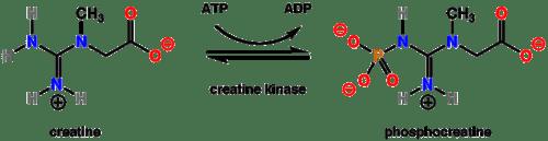 Creatine kinase rxn.png