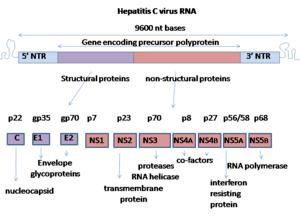 English: The genome organisation of Hepatitis ...
