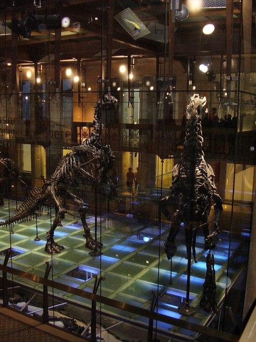 Kostry iguanodona v Bruselu.jpg
