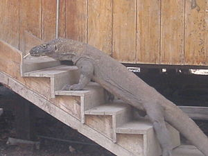 large komodo dragon on stairs
