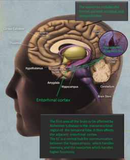 Alzheimers entorhinal cortex