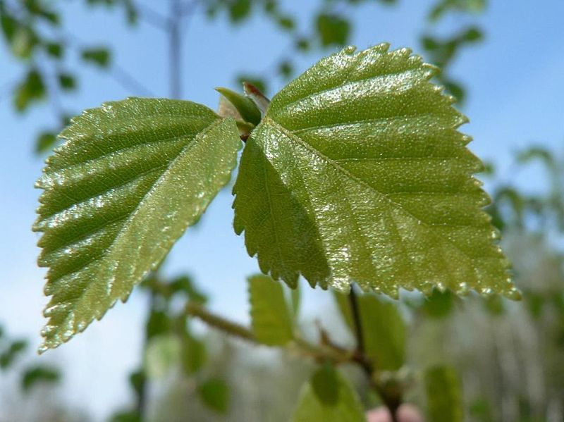 File:Birch tree leaves.jpg