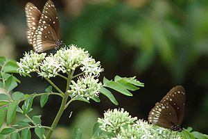 English: Butterfly in Kakkavayal മലയാളം: കാക്ക...