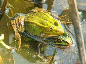 Kleiner Wasserfrosch (Pelophylax lessonae) Amplexus; Männchen mit für die Laichzeit typischer Färbung