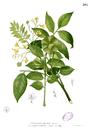 Pterocarpus indicus Blanco1.205.png