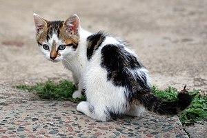 A six-week old kitten.