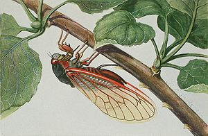 A 17-year cicada, or Magicicada