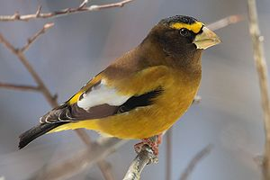 Evening Grosbeak. Visitor Centre, Algonquin Pr...