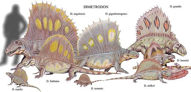 Antepasados de los mamíferos: Sinápsidos - Esfenacóntidos - Dimetradones