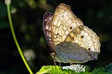 波紋眼蛺蝶