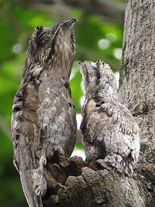 Common potoo   Wikipedia Common potoo