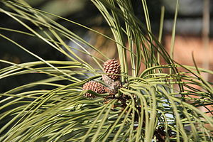 English: Young female cones on Ponderosa Pine ...