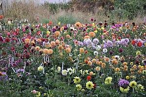 English: Accent Dahlias, small dahlia farm (or...