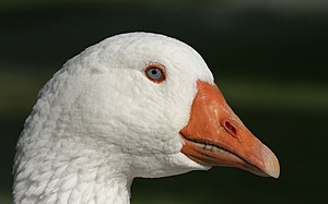 A portrait of a domesticated goose.