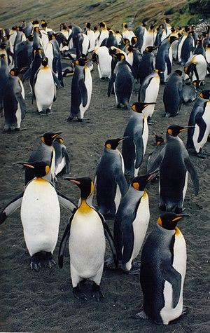King penguins (Aptenodytes patagonicus halli)....