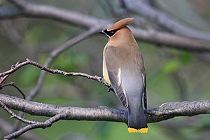 Cedar Waxwing, Cap Tourmente National Wildlife...