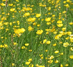 English: Buttercups ((Ranunculus repens) A fie...