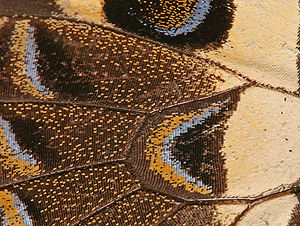 English: Close-up view of wing of Citrus swall...