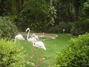 English: Flamingoes at Karachi Zoo