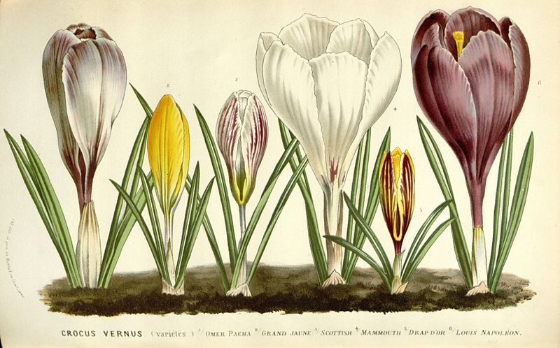 File:Flore des serres v16 135a.jpg