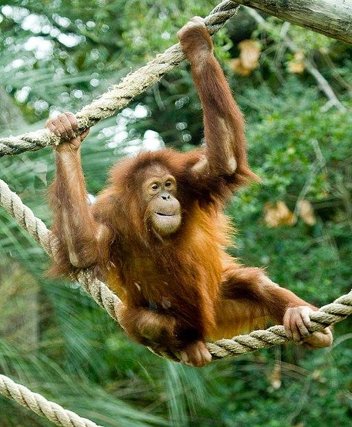 El orangután es un homínido del género de los Póngidos