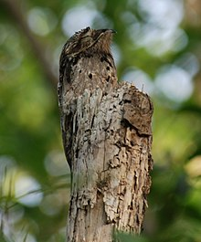 Potoo   Wikipedia Common potoo camouflaged on a stump